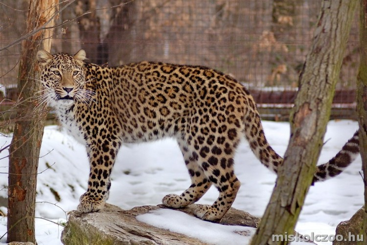 Kicsi leopárd született Miskolcon