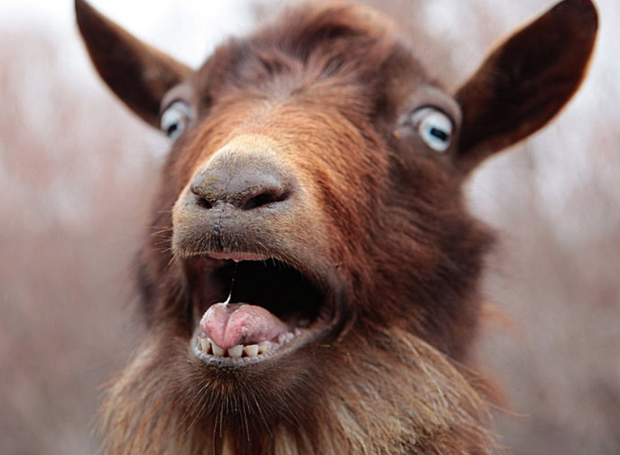 Veszett kecskéket találtak Borsodban