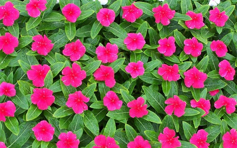 Itt és ekkor osztanak virágot Debrecenben