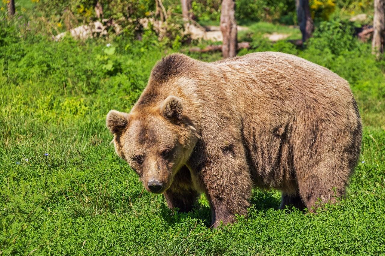 Megint lecsapott a medve Székelyföldön