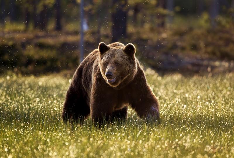 Magyarországon medvére bukkantak!