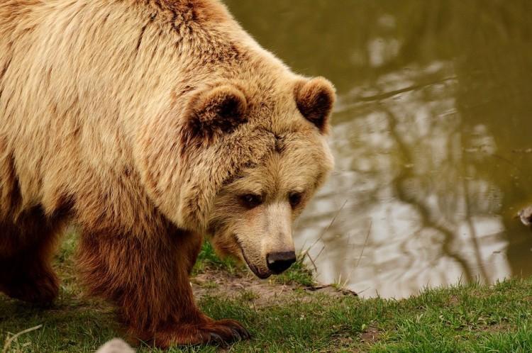Kilövési engedélyt kérnek a medvékre Székelyföldön