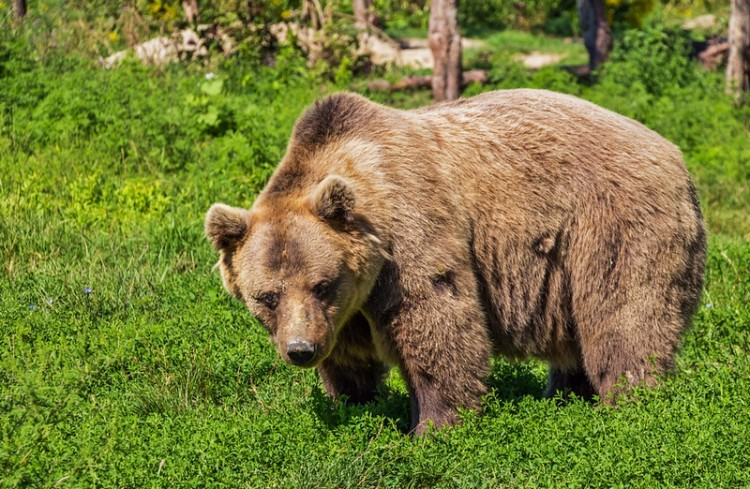 Leterítették a kóborló medvét