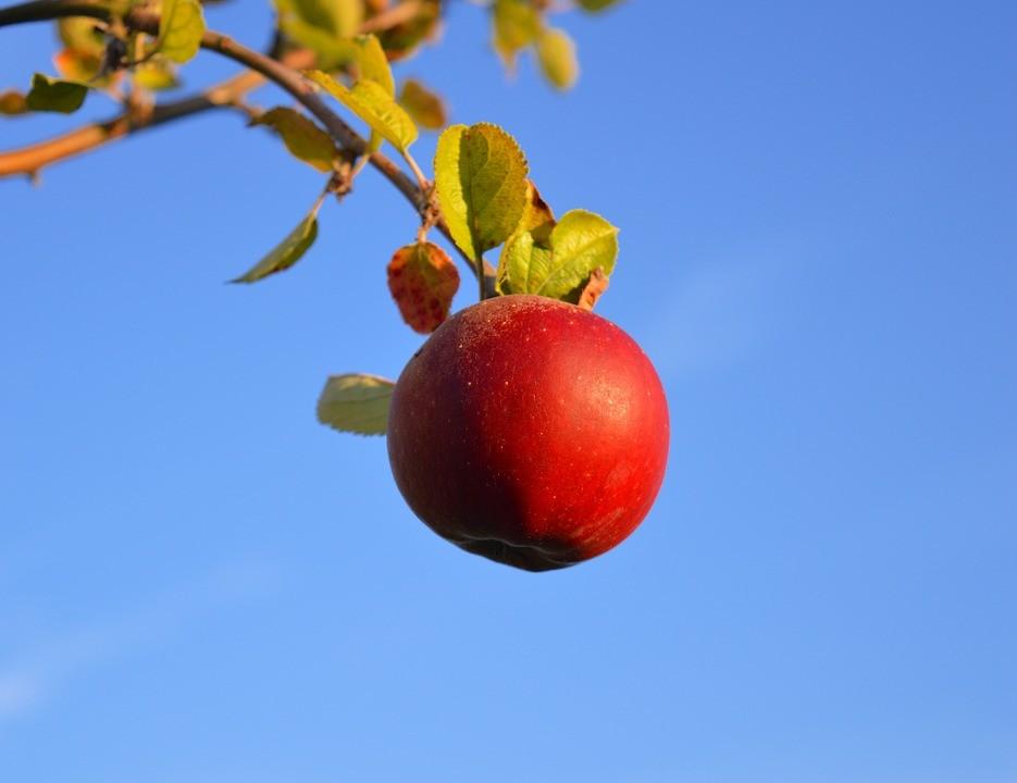 Szabolcsi almát kóstoltat az egyik multi
