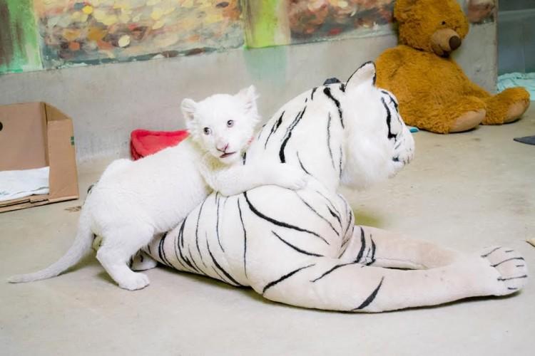 Eldőlt, mi legyen akis fehér oroszlán neve!