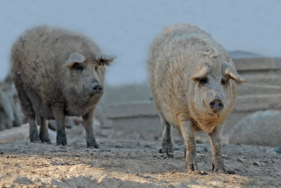 Kiváló önkormányzat: saját disznóval etetik a város népét a menzán