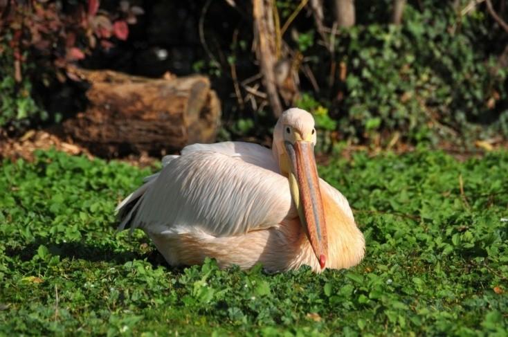 Elaltatták az összes pelikánt