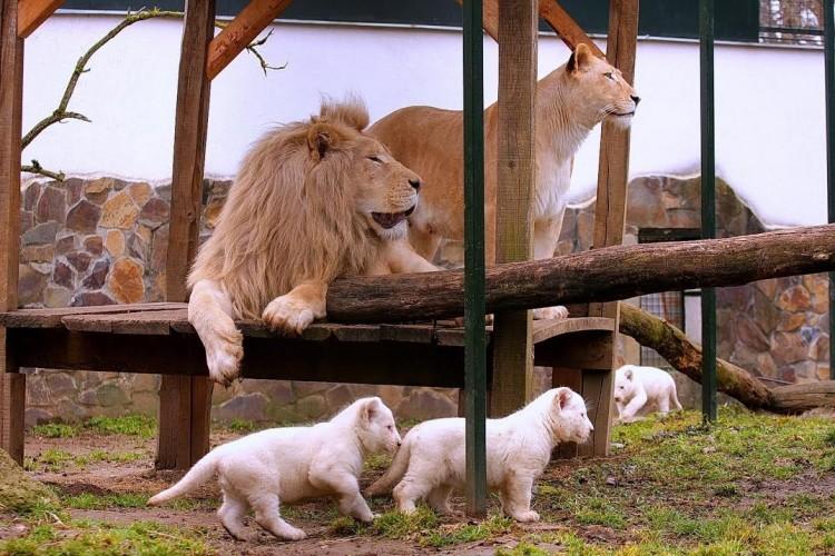 Szenzáció! Fehér oroszlán hármas ikrek születtek Nyíregyházán