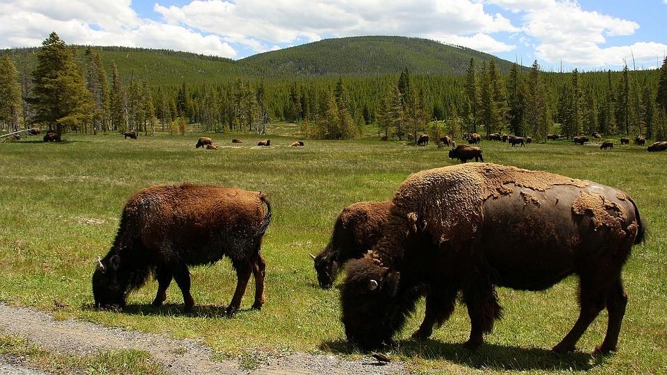 Önkénteseket keresnek bölények kilövésére