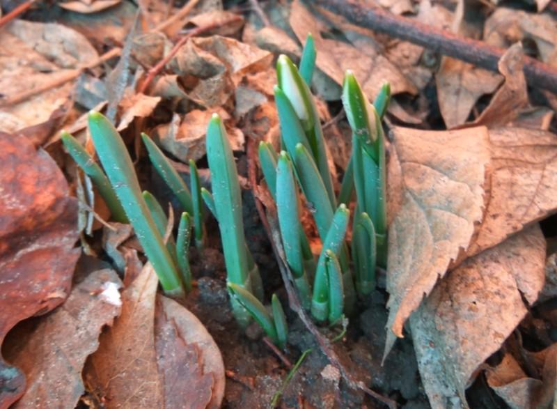 Téli tavasz: hóvirág, ibolya, rózsa is nyílik Kelet-Magyarországon