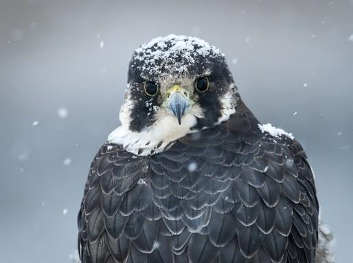 Szédületes sebességre képes az év madara