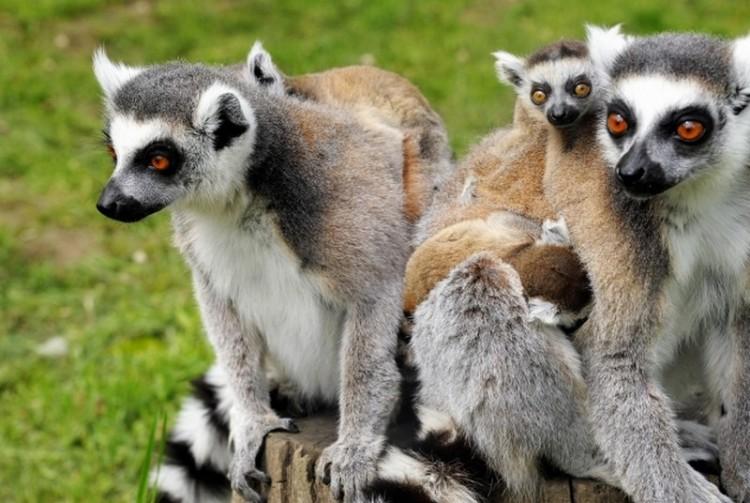 Maki bébik lepték el a Nyíregyházi Állatparkot