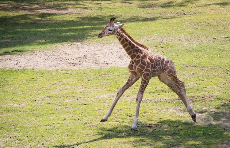 Nevet keresnek a nyíregyházi zsiráfnak