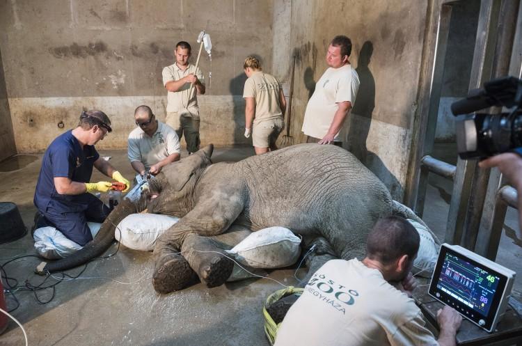 Meg kellett műteni egy elefántot Nyíregyházán