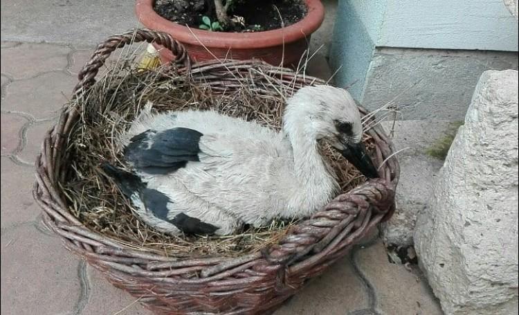 Önállóan eszik a Nyíregyházán mentett kis gólya