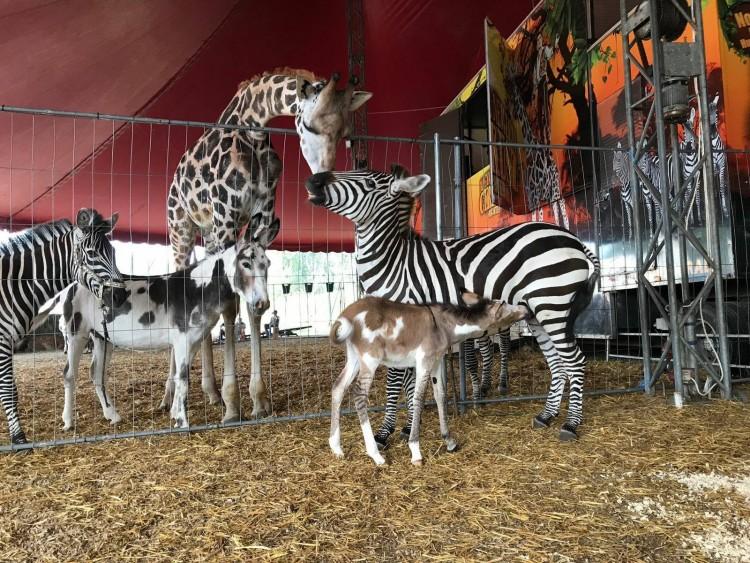 Szenzáció a Magyar Nemzeti Cirkuszban: nem zebrát szült a zebra