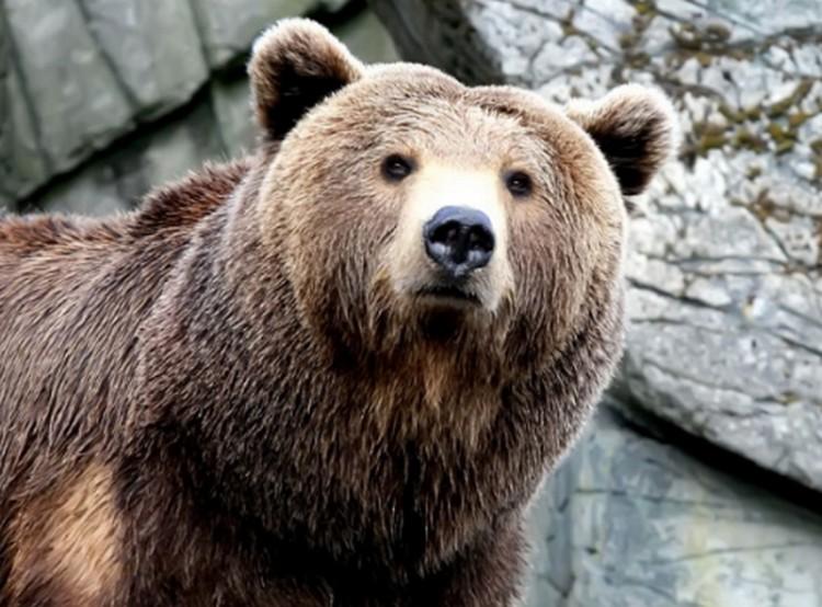 A rendre megjelenő barna medve a téma Ózdon