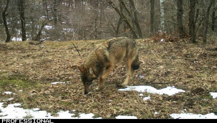 A farkasok jól érzik magukat a Bükkben