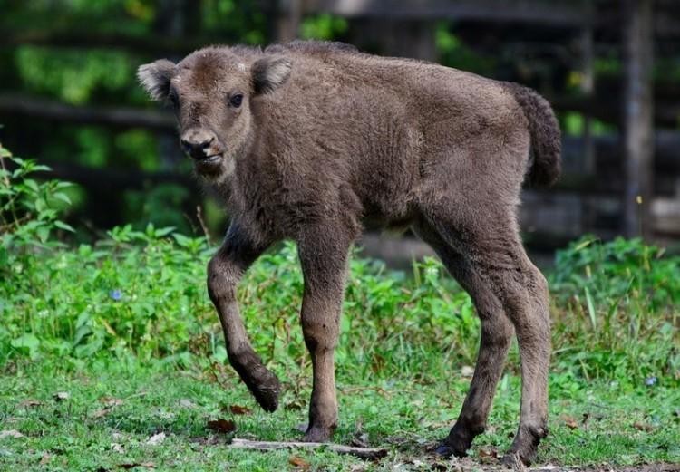 Először született bölény Miskolcon