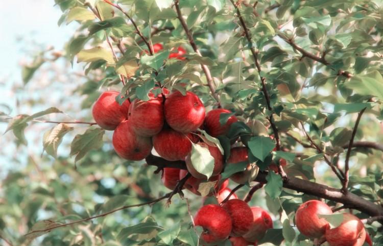 Háromszor adtak el egy andornaktályai gyümölcsöst