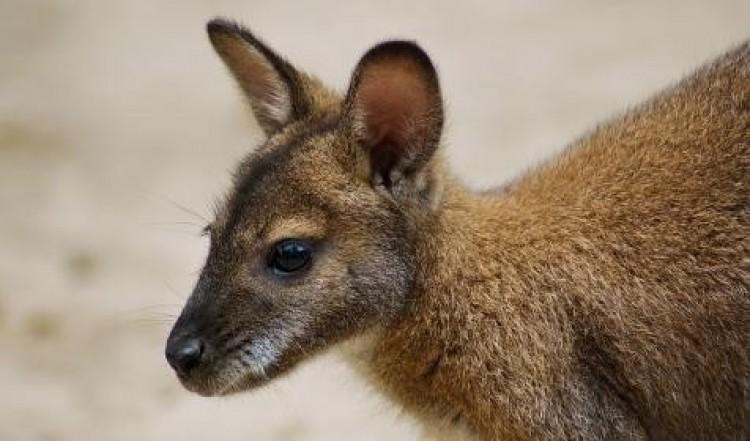 Kirándulók találták meg a Miskolci Állatkertből elszökött kengurut
