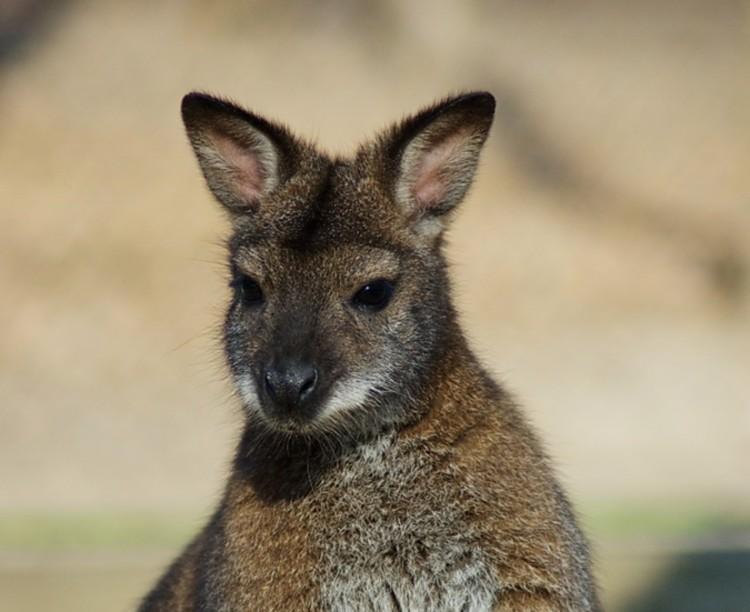 Megszökött két kenguru Miskolcon