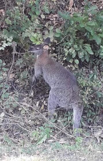 Megtalálták a Miskolcról elszökött kengurut