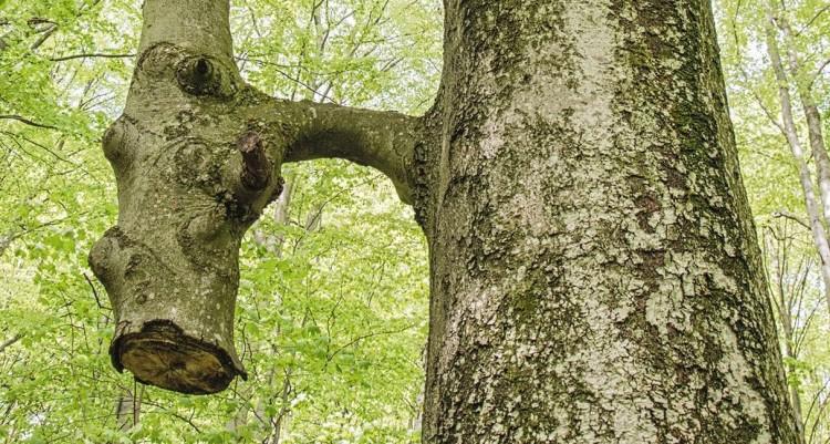 A nagy fa táplálja a kivágott kicsit, avagy a természet csodája a Bükkben