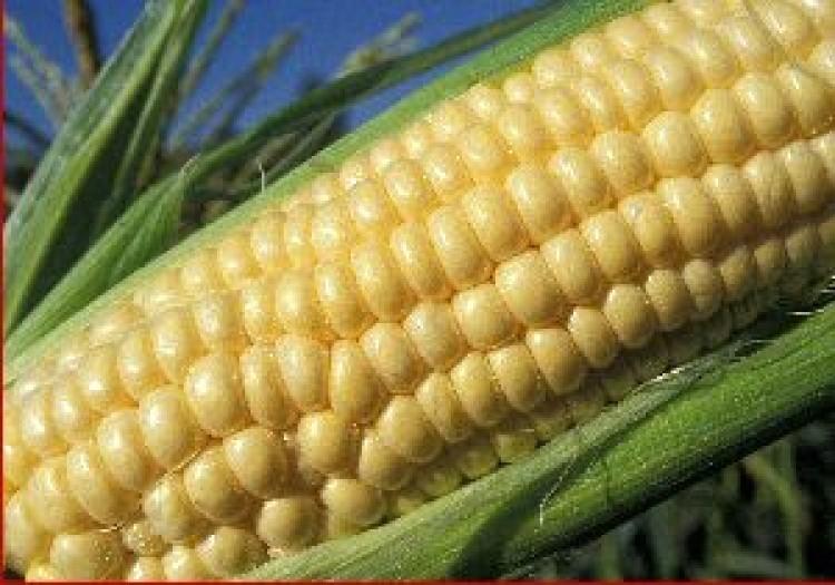 Lángol a kukorica Földesen!