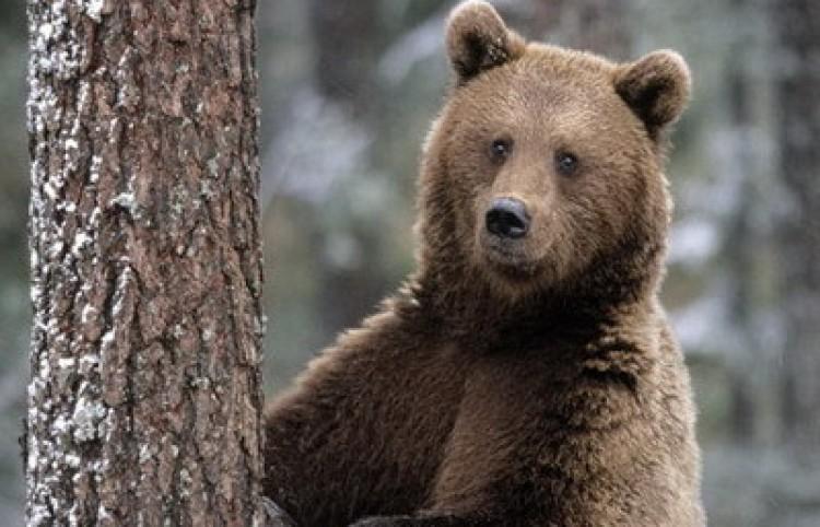 Medve vicc.