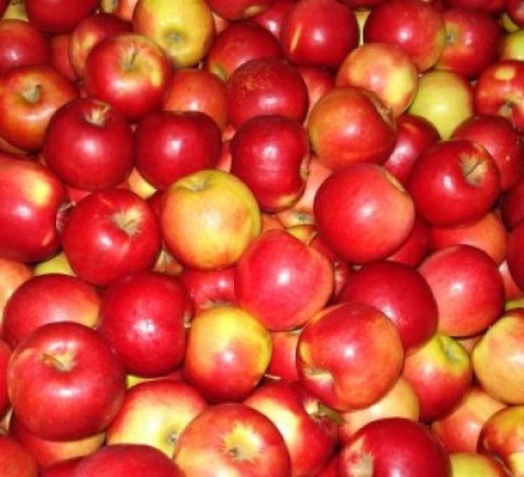 Almát a pujának!