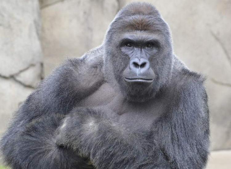 A gorilla, akinek meg kellett halnia
