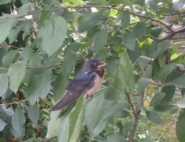 Balsán is megjelent a ritka fecskefaj