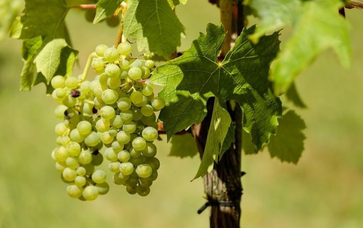 Szélsőséges idő miatt előnyben a magyar borok