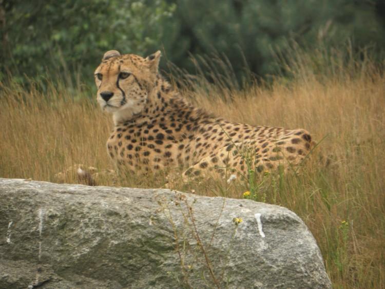 Gepárdok kergettek meg egy családot Hollandiában