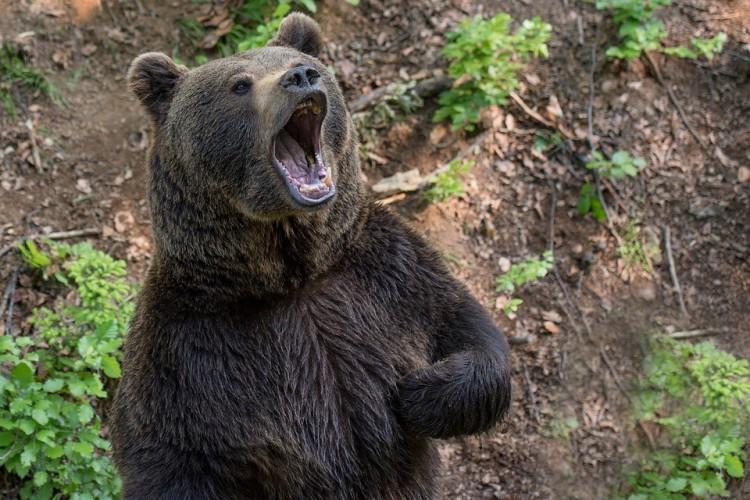 Ismét medvetámadás Székelyföldön