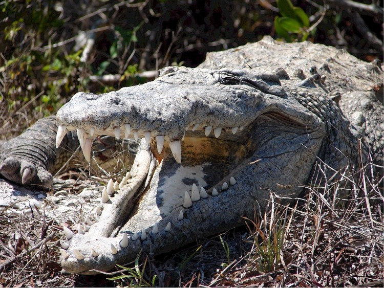 Protestáns lelkészt gyilkolt a krokodil