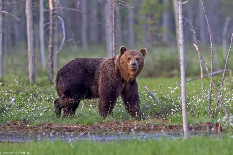 Egy fél országot tart lázban egy medve