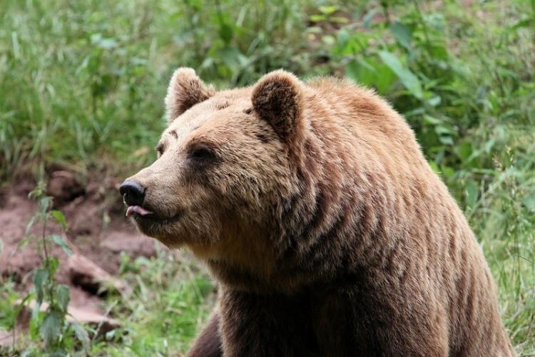 Szabadon engedték a kóborló medvét