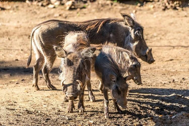 Újabb Bihar megyei településeken jelent meg az afrikai sertéspestis