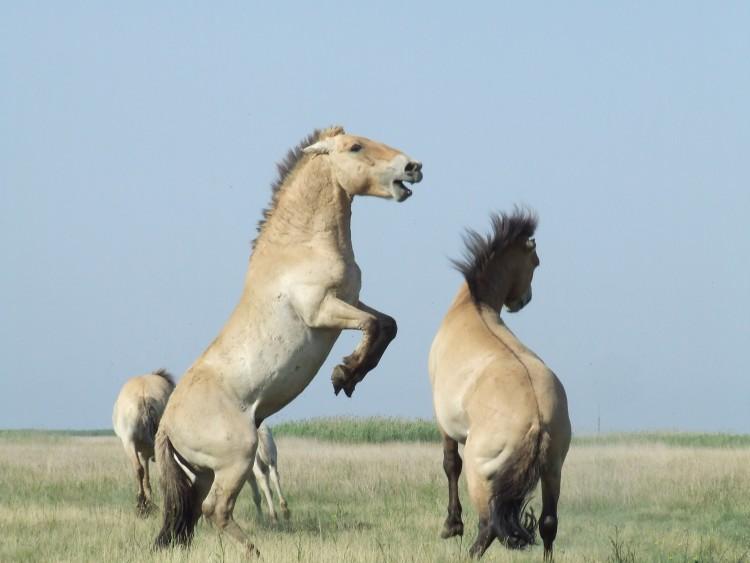 Együtt küzdenek a Przewalski lovakért