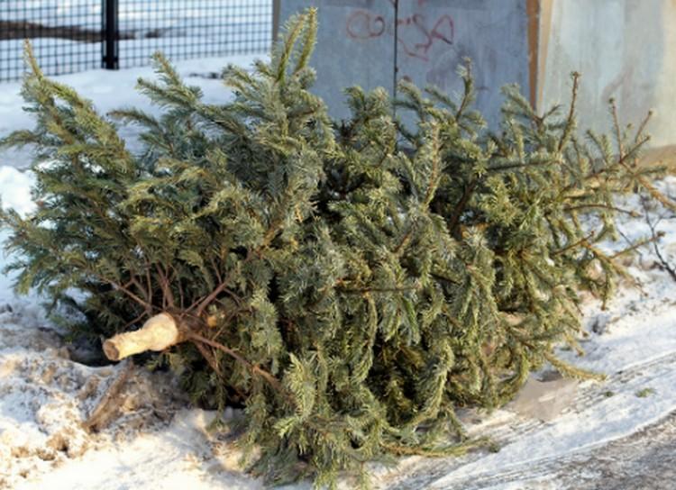 Indul a gyűjtés! Évi 21 tonna fenyőfát termel Debrecen