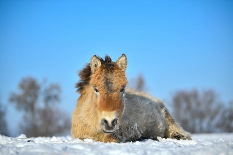 Jól érzik magukat a vadlovak a havas Hortobágyon