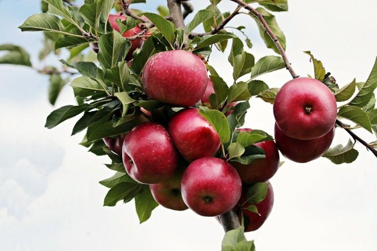 Veszteséges a magyar alma