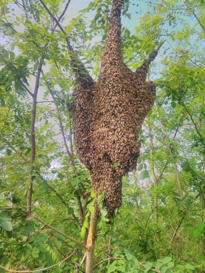 Zümivadászt hívták a sámsonkerti méhrajhoz