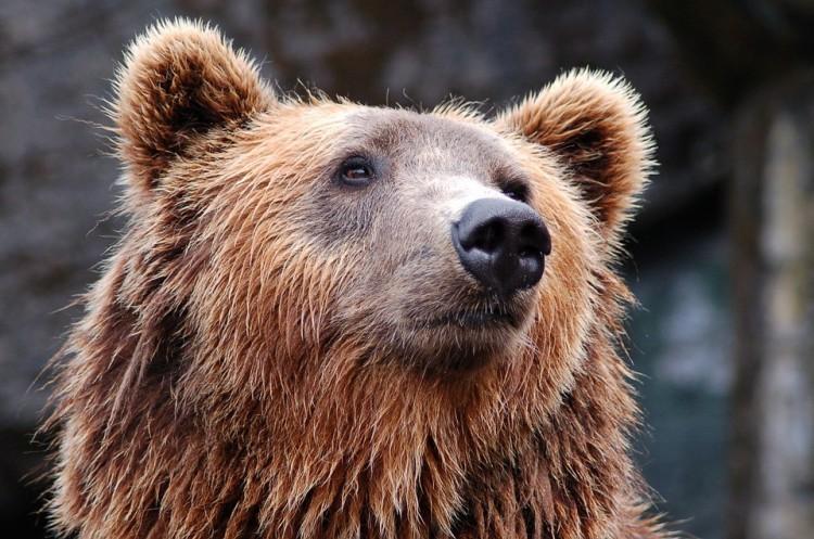 Medve jár Szilvásváradnál