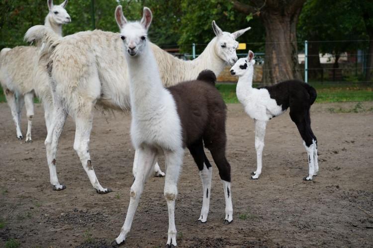 Láma született a Debreceni Állatkertben