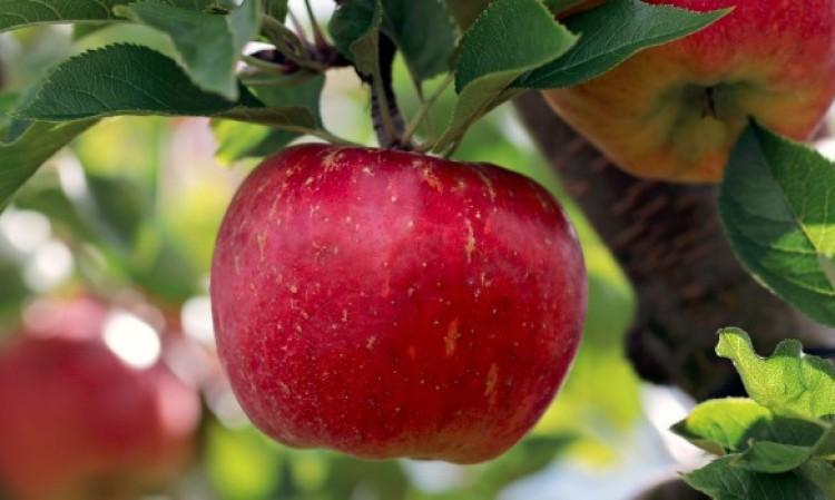 Drága lesz idén a finom magyar alma