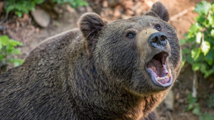 Saját háza udvarán támadt egy férfire egy medve