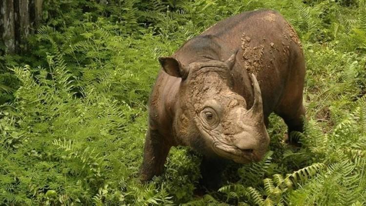 Kihalt az utolsó szumátrai orrszarvú is Malajziában